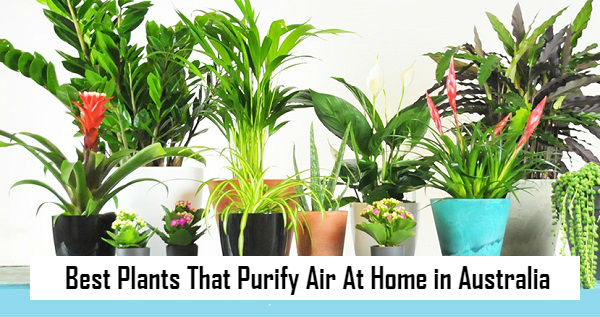 Best Plants That Purify Air At Home in Australia