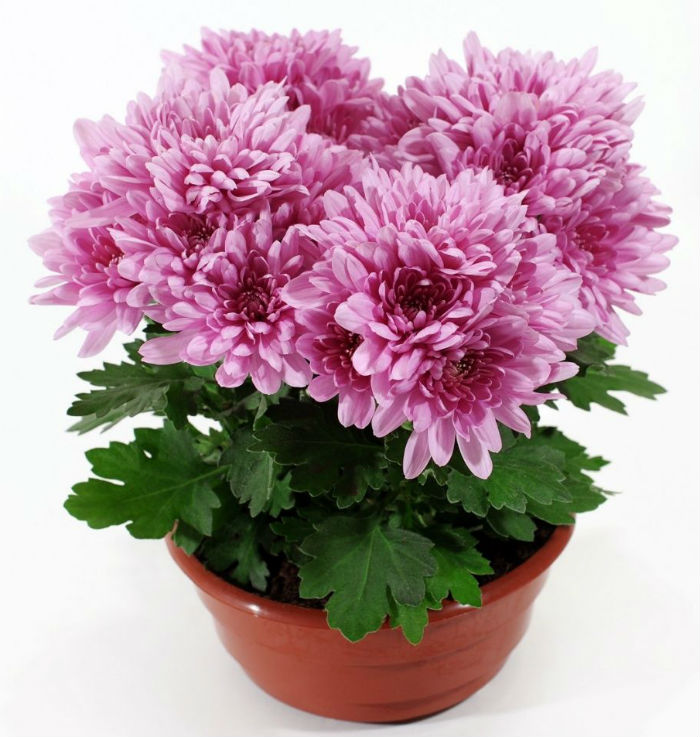 Chrysanthemums - Best Air Purification Plant