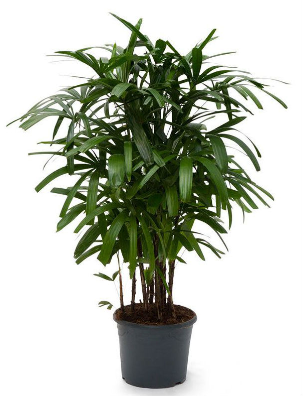 Lady Palm - Top Ranked Air Purifying Plant