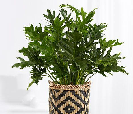 Philodendron - Helping the Clean the Air we Breathe