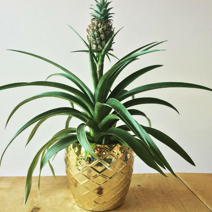 Pineapple Plant - Removing Carbon Dioxide from Air