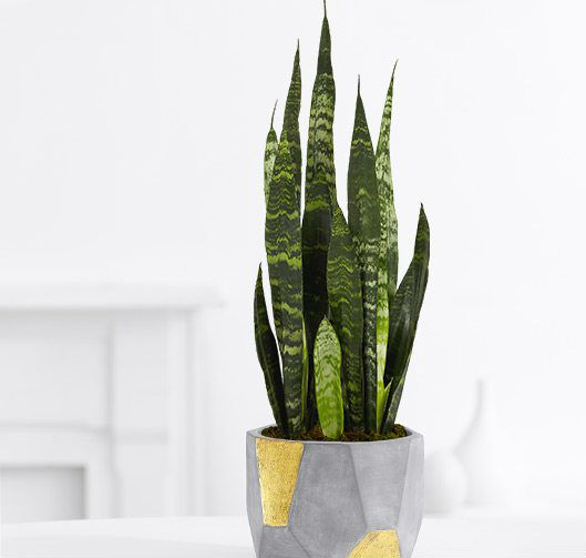 Snake Plant - Purifies Air by Absorbing Toxins